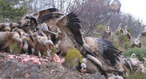 Voltors menjant al PAS