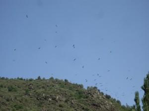 Voltors comuns volant damunt el PAS de MónNatura Pirineus