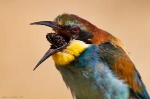 Aberellol (Merops apiaster) regurgitant. Font: Hèctor Galera