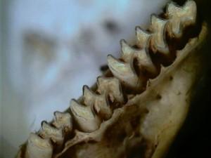Dents de talpó (Font: Hèctor Galera)