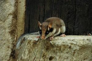 Rata cellarda (Elomys quercinus). Font: Wiquipèdia