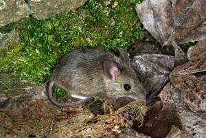 Ratolí de bosc (Apodemus sylvaticus). Font: Wiquipèdia