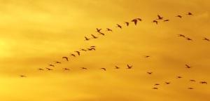 Grup d'aus en migració (Imatge: David Nieto Maceín)