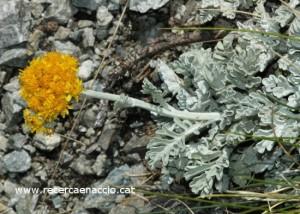 L'herba blanca (Senecio leucophyllus) és un endemisme pirinenc que presenta una gran quantitat de pèls blancs que li donen un aspecte vellutat (Font: recercaenaccio.cat)