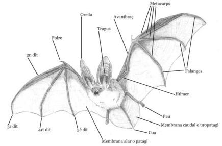 Imatge: Esquema de les parts d'un rat penat. Font: Galanthus