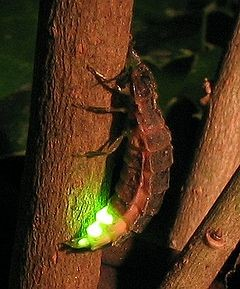Cuca de llum femella. Font: Wikipedia.org