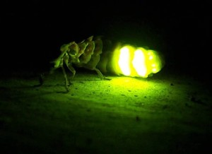 Cuca de llum (Lampyris noctiluca). Font: www.ichn.iec.cat