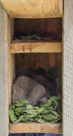 Liró gris dins una caixa niu. Autor: Gemma Valero