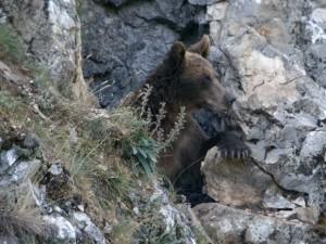 Fotografia 4: Una óssa de la població cantàbrica. Un forat natural en una paret de roca calcària li serveix d'ossera.