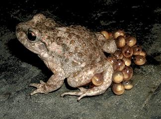 Mascle de tòtil carregant la posta. Font: cefax.org