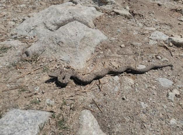 Escurçó pirinenc al Parc Nacional d'Aigüestortes i Estany de Sant Maurici. Foto d'arxiu