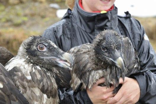 Foto3: Individus juvenils a punt de ser alliberats al Alps.