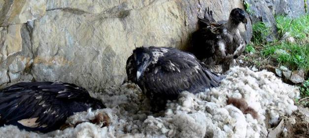 Foto1: Individus juvenils de trencalòs moments després de ser alliberats en la vall suïssa de Calfeisen. Actualment hi ha uns 200-250 exemplars de trencalòs als Alps (unes 33 parelles reproductores) i es considera aquest projecte de reintroducció com un dels de més èxit de la història recent.