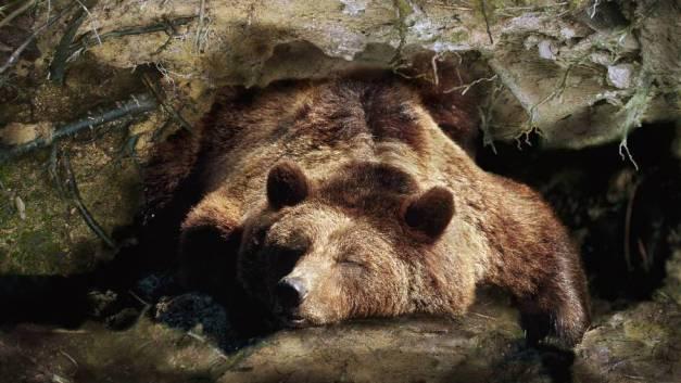 Ós bru despertant de la hibernació. Foto: Age Fotostok/Quality
