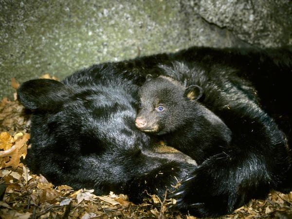Ós negre hibernant i alimentant la seva cria. Foto: All Canada Photos/Alamy