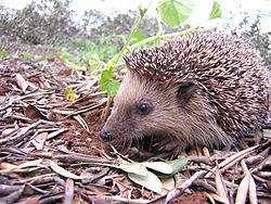 Eriçó europeu (Erinaceus europaeus), exemple d'animal hibernant. Foto: Wikipèdia.