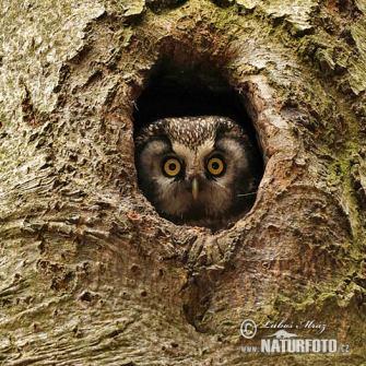 Imatge 2: Mussol pirinenc en un forat de picot. Font: http://www.naturephoto-cz.com